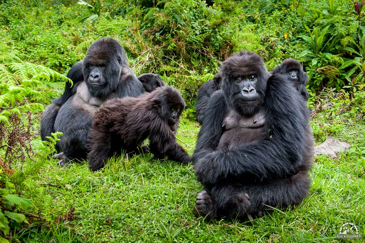 silverback gorilla trekking in rwanda how i almost became his lunch