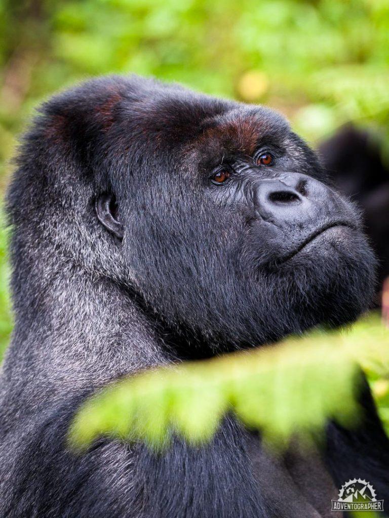 Alpha Silverback gorilla during trekking in rwanda
