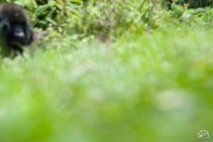 Photo taken by Silverback gorilla in rwanda