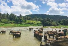 Thai Elephants in the River