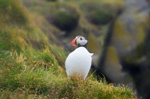 The best time to visit Iceland might be the spring if you're a bird watcher. Puffin on cliff